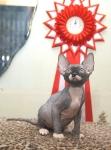 Sphynx kitten_16