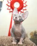 Sphynx kitten_19