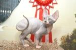 Sphynx kitten_20