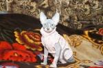 Sphynx kitten_27