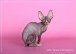 Sphynx kitten_40