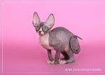 Sphynx kitten_41