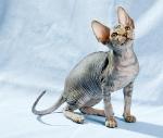 Sphynx kitten_50