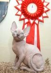 Sphynx kitten_8