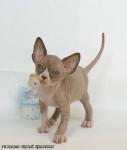 Sphynx kitten_1