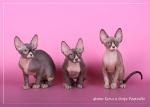 Sphynx kitten_34