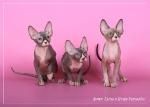 Sphynx kitten_35