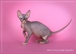 Sphynx kitten_36