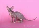 Sphynx kitten_37