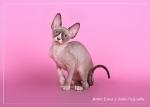 Sphynx kitten_38