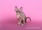 Sphynx kitten_39