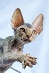 Sphynx kitten_48
