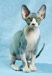 Sphynx kitten_52
