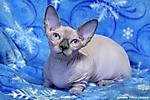Котята бамбино